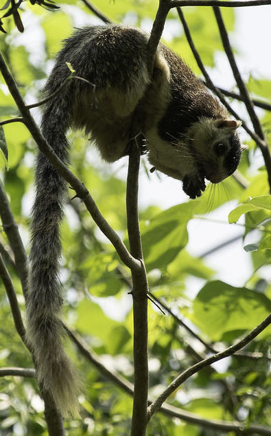 """Grizzled Giant Squirrel"" by bikashdas is licensed under CC BY 2.0"