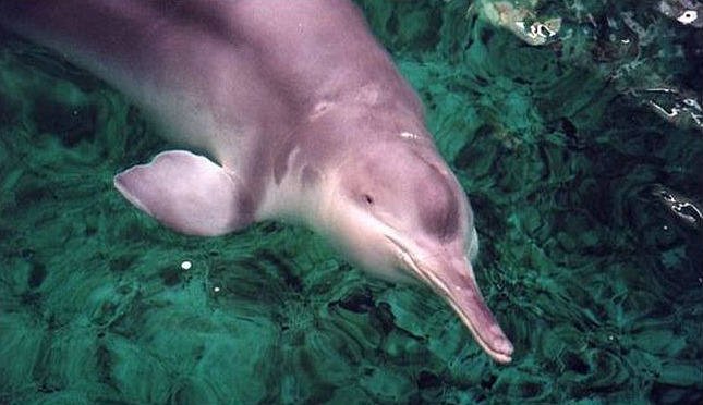 """""""File:Qiqi, a Chinese River Dolphin (Baiji) 17.jpg"""" by unknown is licensed under CC BY-SA 4.0"""