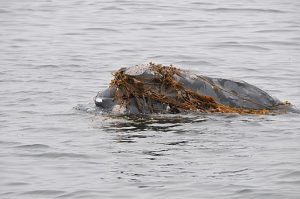 Right Whale with Seaweed
